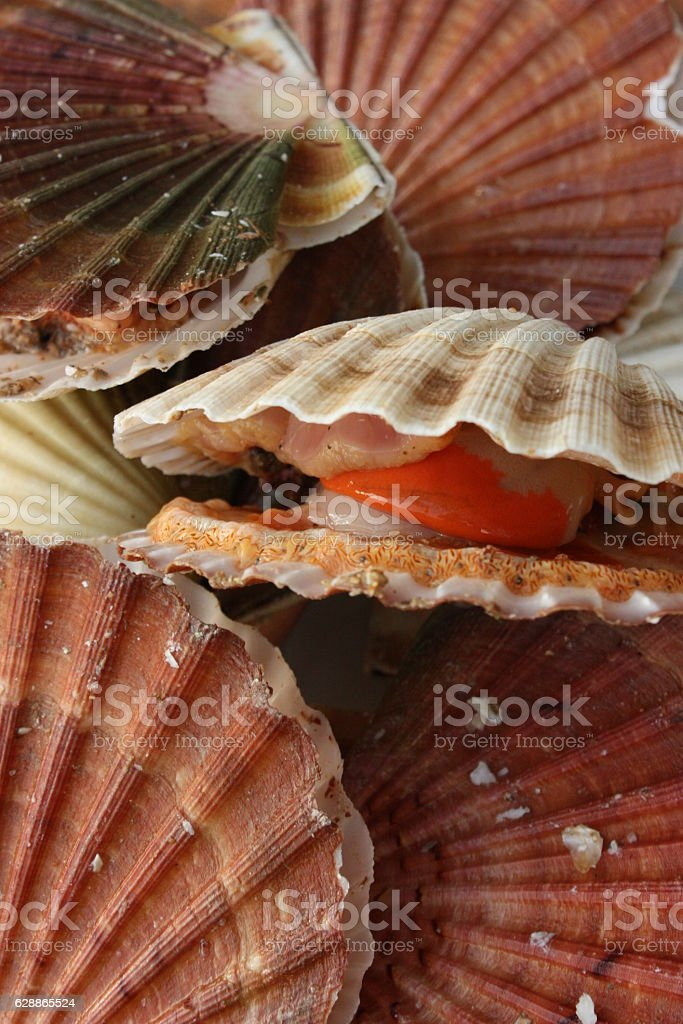 Coquille saint Jacques stock photo