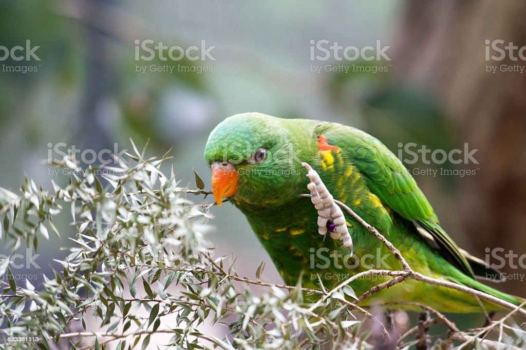 Scaly Breasted Lorikeet Chews Bush stock photo