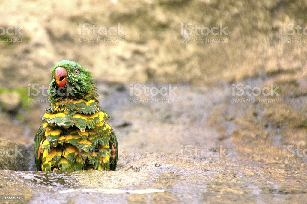 Scaly Breasted Lorikeet Having a Bath stock photo