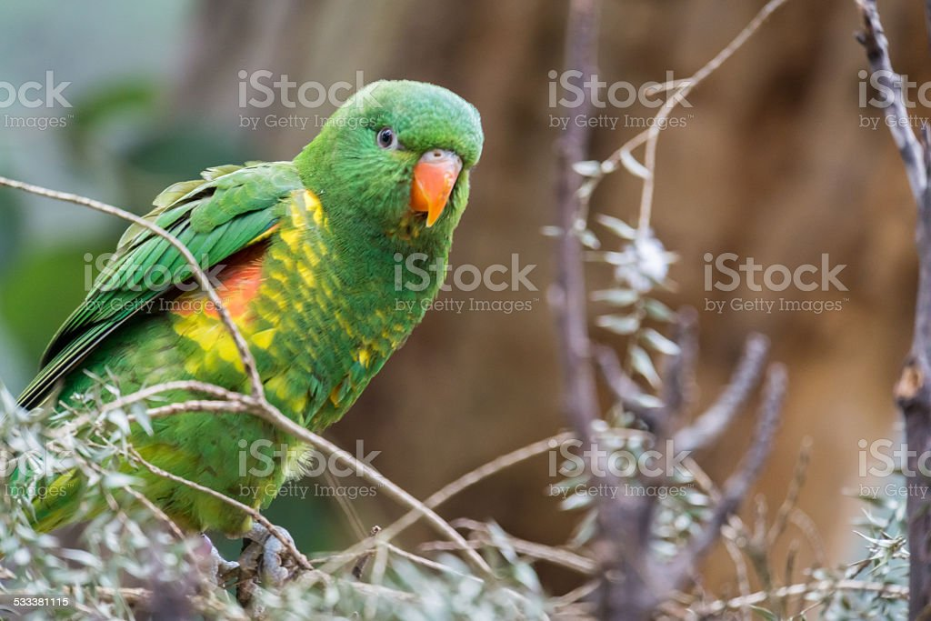 Scaly Breasted Lorikeet in the Bush stock photo