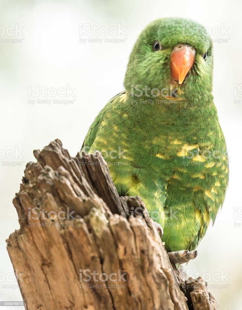 Scaly Breasted Lorikeet on a Tree stock photo