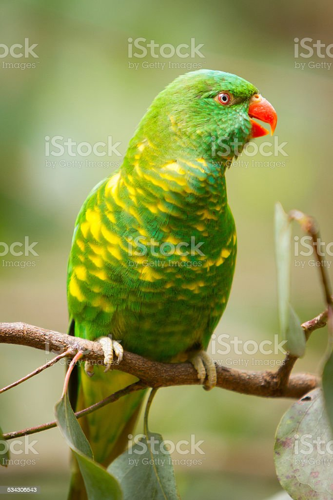 Scaly Breasted Lorikeet stock photo