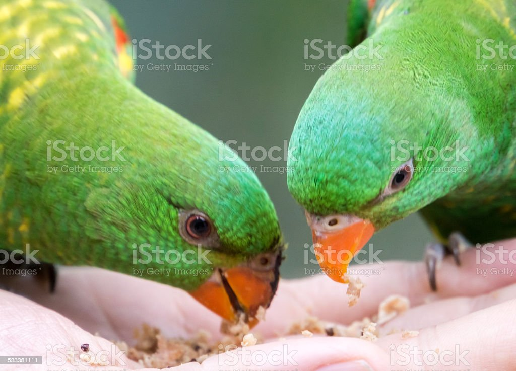 Scaly Breasted Lorikeet Two Eating stock photo