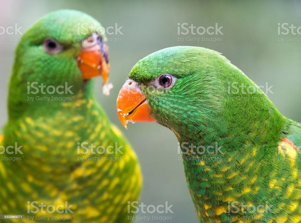 Scaly Breasted Lorikeets Duo stock photo