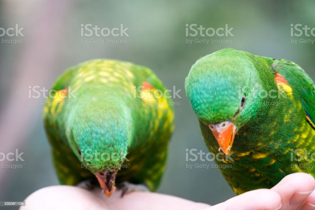 Scaly Breasted Lorikeets Eat out of Hand stock photo