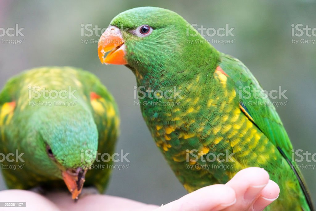 Scaly Breasted Lorikeets in the Hand stock photo