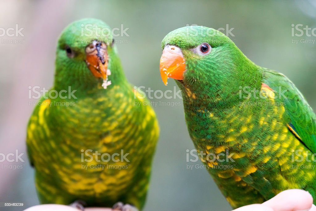 Scaly Breasted Lorikeets Together stock photo