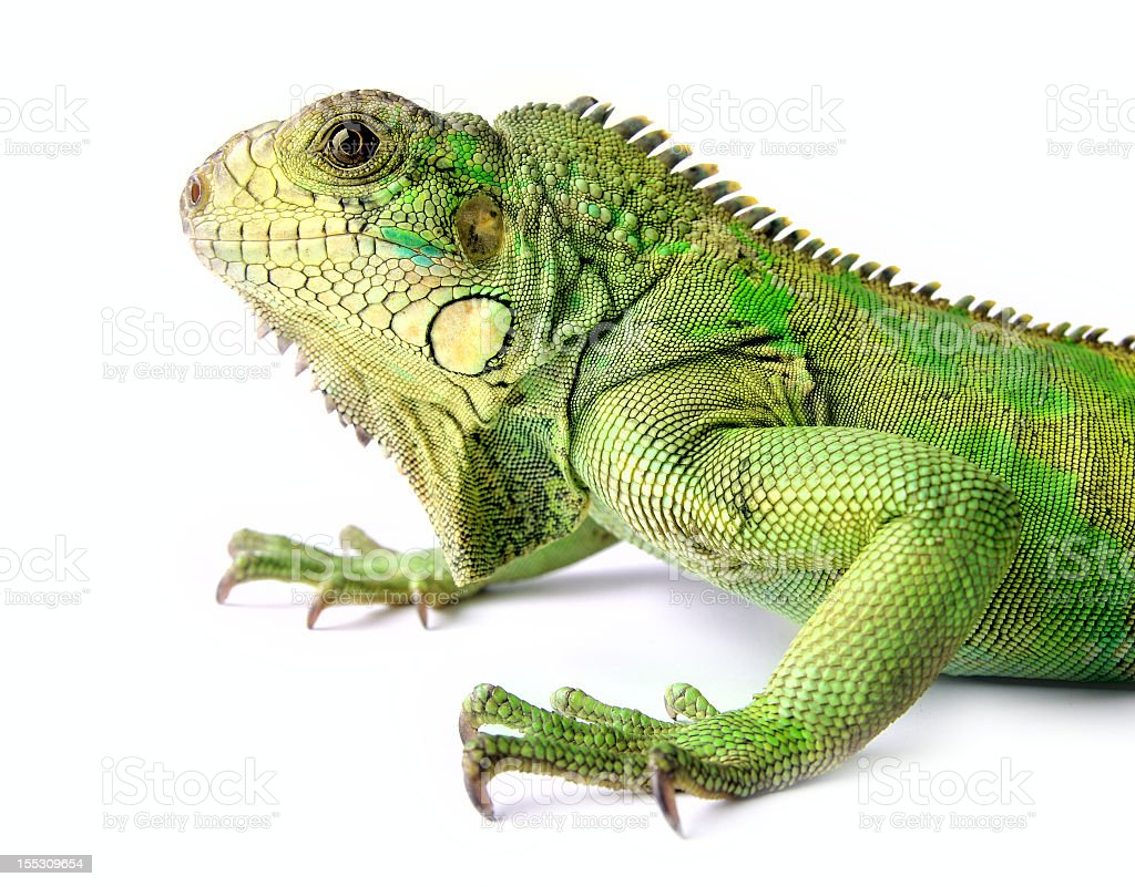 Scaly green iguana with claws and brown eyes stock photo