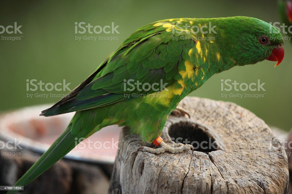 Scaly-breasted lorikeet (Trichoglossus chlorolepidotus) stock photo
