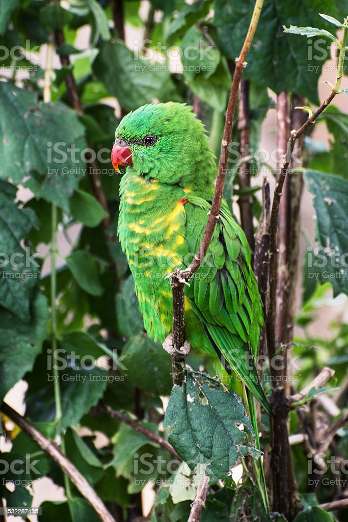 Scaly-breasted lorikeet stock photo