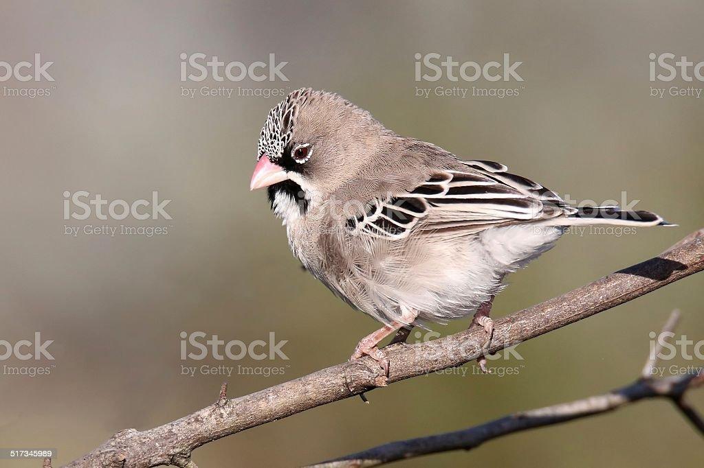 Scaly-feathered weaver bird stock photo