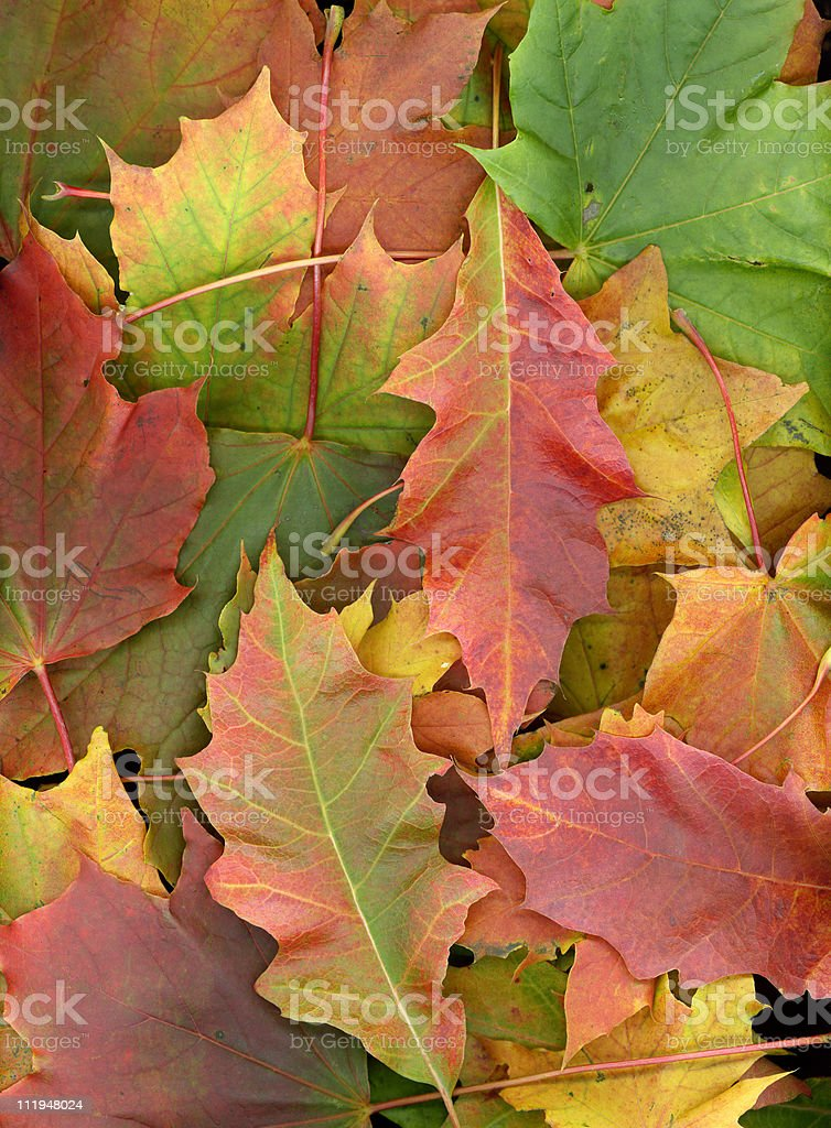 Scan of a autumn leaves stock photo