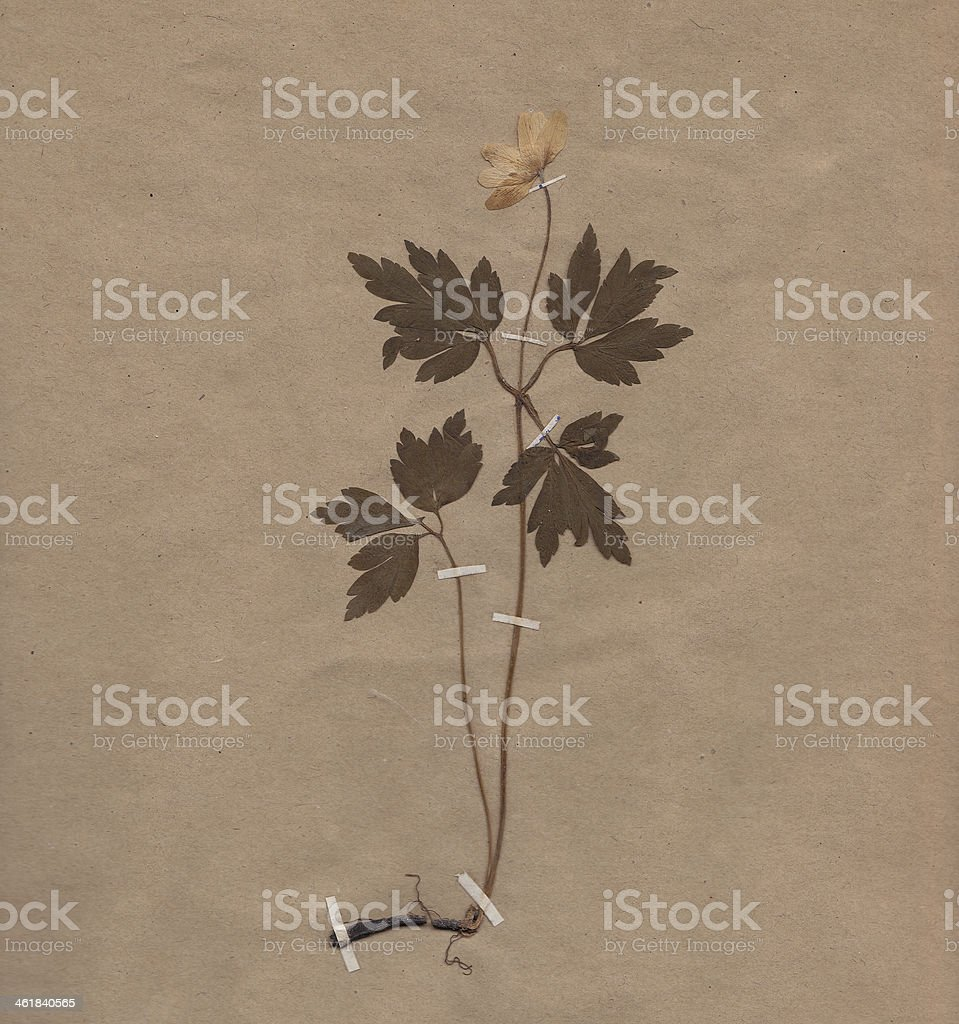 Scan Of Vintage Dried Flower On Paper Stock Photo 461840565 Istock