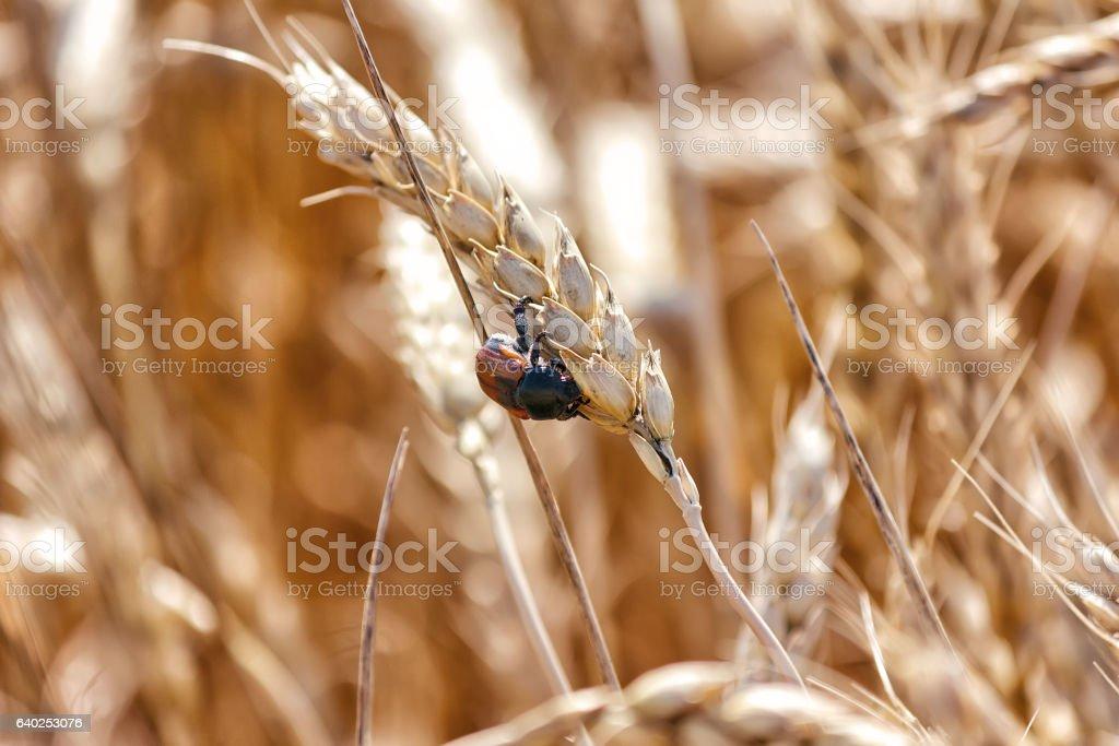 Scarab beetle on spikelet wheat stock photo