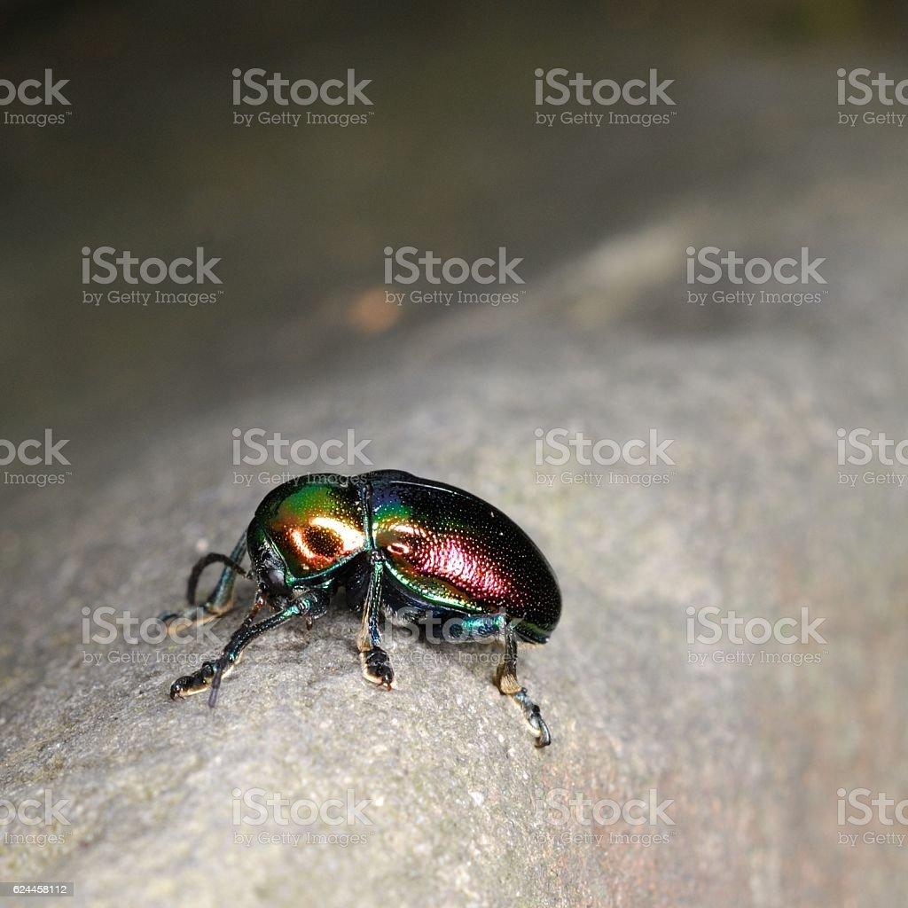Scarab beetle on the rocks stock photo