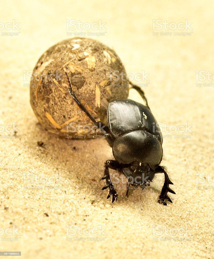 Scarab beetle or scarabaeus stock photo