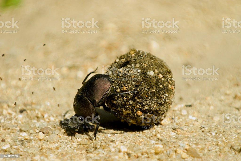 Scarab beetle royalty-free stock photo