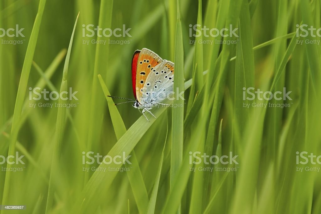 Scarce Copper (Lycaena virgaureae), Butterfly royalty-free stock photo