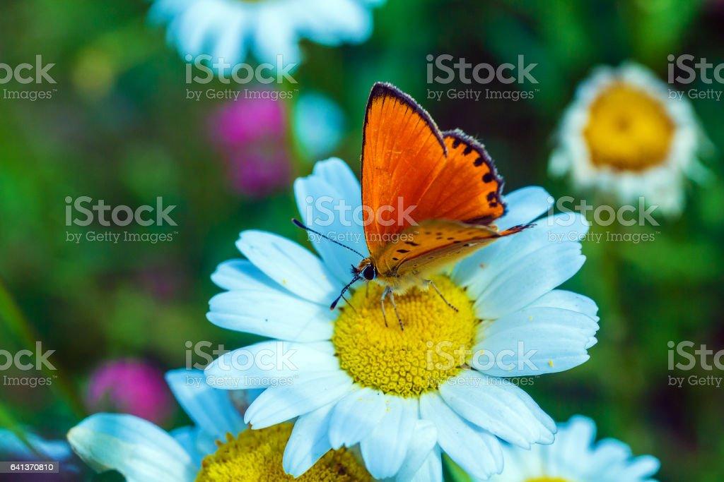 Scarce copper (Lycaena virgaureae) butterfly stock photo