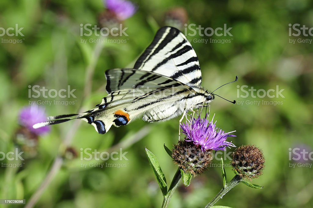 Scarce Swallowtail butterfly feeding on flower royalty-free stock photo