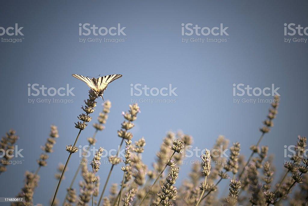Scarce Swallowtail (Iphiclides podalirius) on Lavender royalty-free stock photo