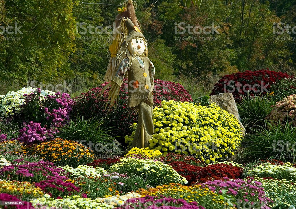 Scarecrow and Mums royalty-free stock photo