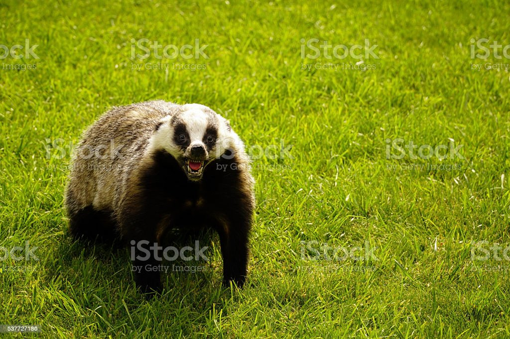 scarecrow badger standing on green grass stock photo