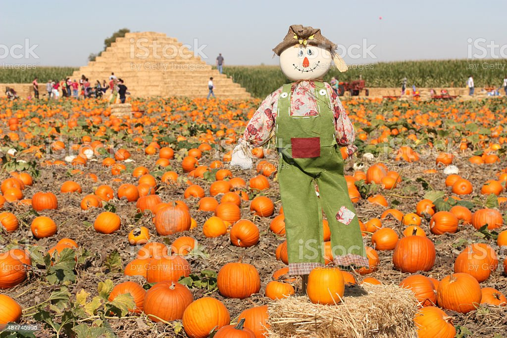 Scarecrow in autumn pumpkin field stock photo