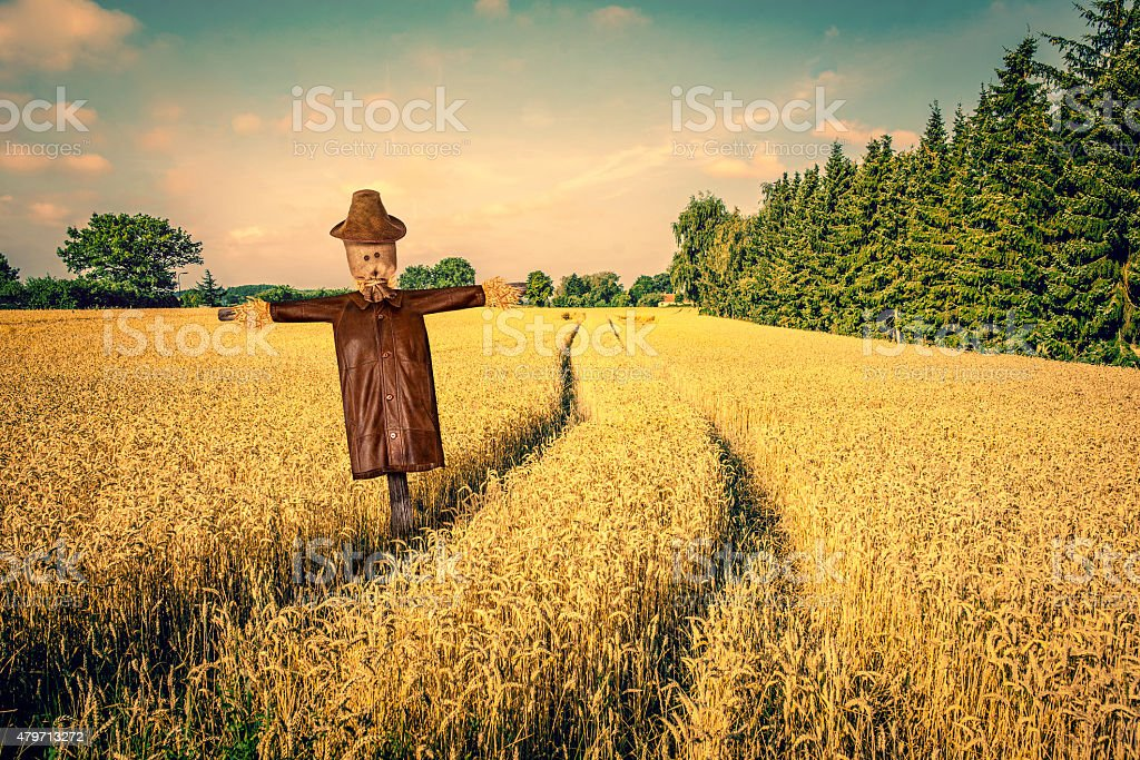 Scarecrow on a golden field stock photo