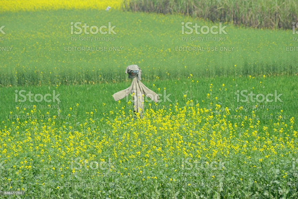scarecrow standing protect yellow mustard flower field stock photo