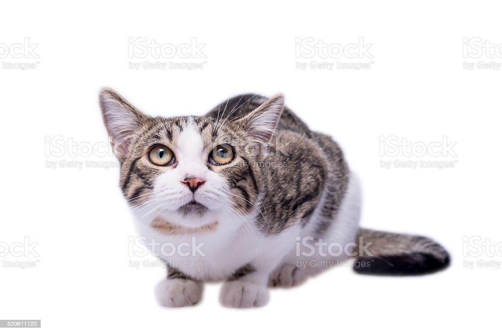 Scared cat loking up, isolated on white background stock photo