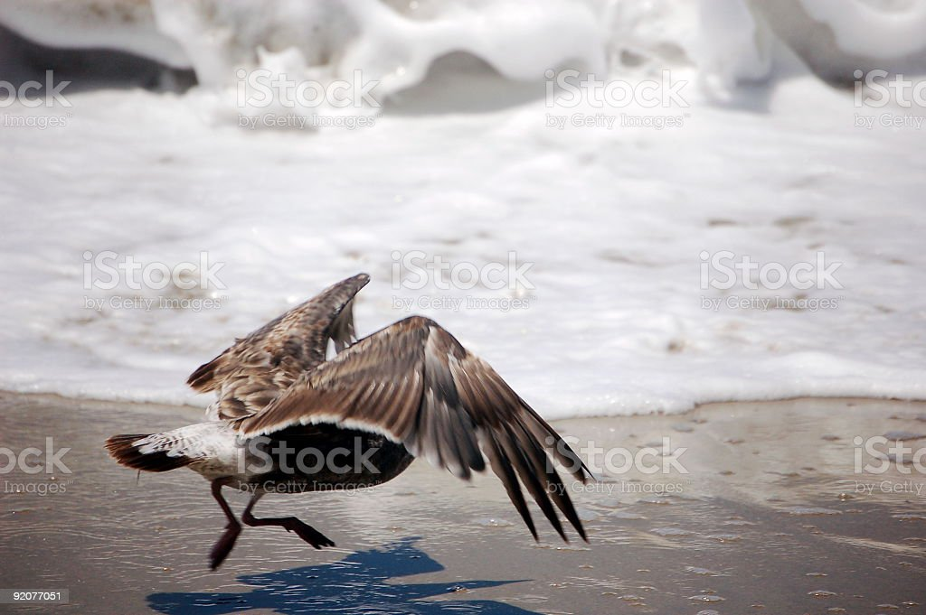 Scared Gull royalty-free stock photo