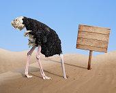 scared ostrich burying head in sand near blank wooden signboard