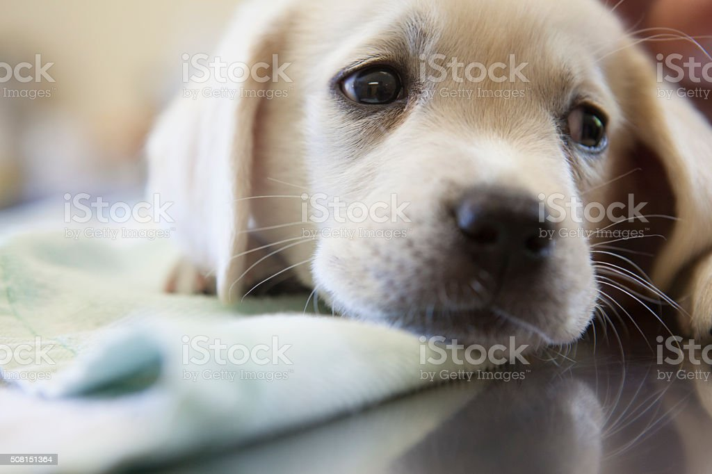 Scared Puppy at the Veterinarian's Office stock photo