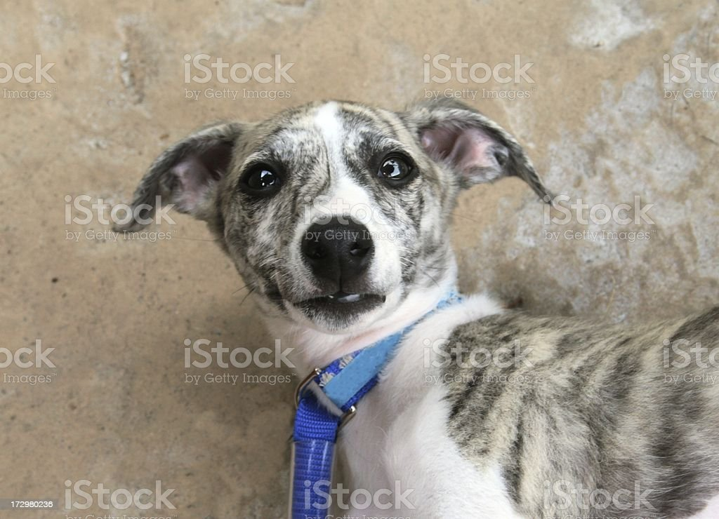 Scared Puppy Dog royalty-free stock photo