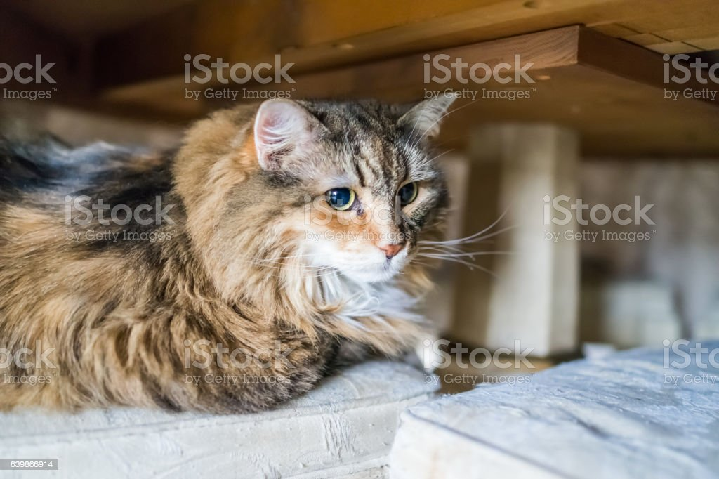 Scared shy calico tabby maine coon cat under table stock photo