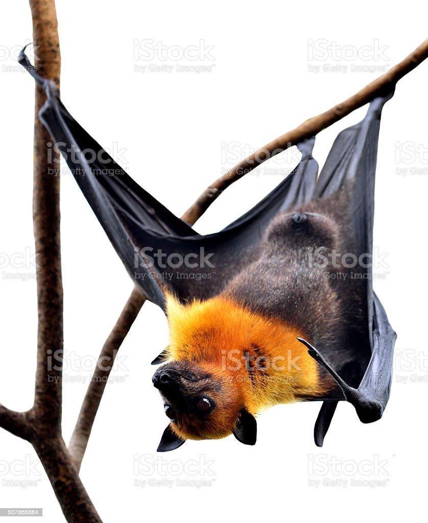 Scarely Hanging Flying Fox Big bat isolated on white background stock photo