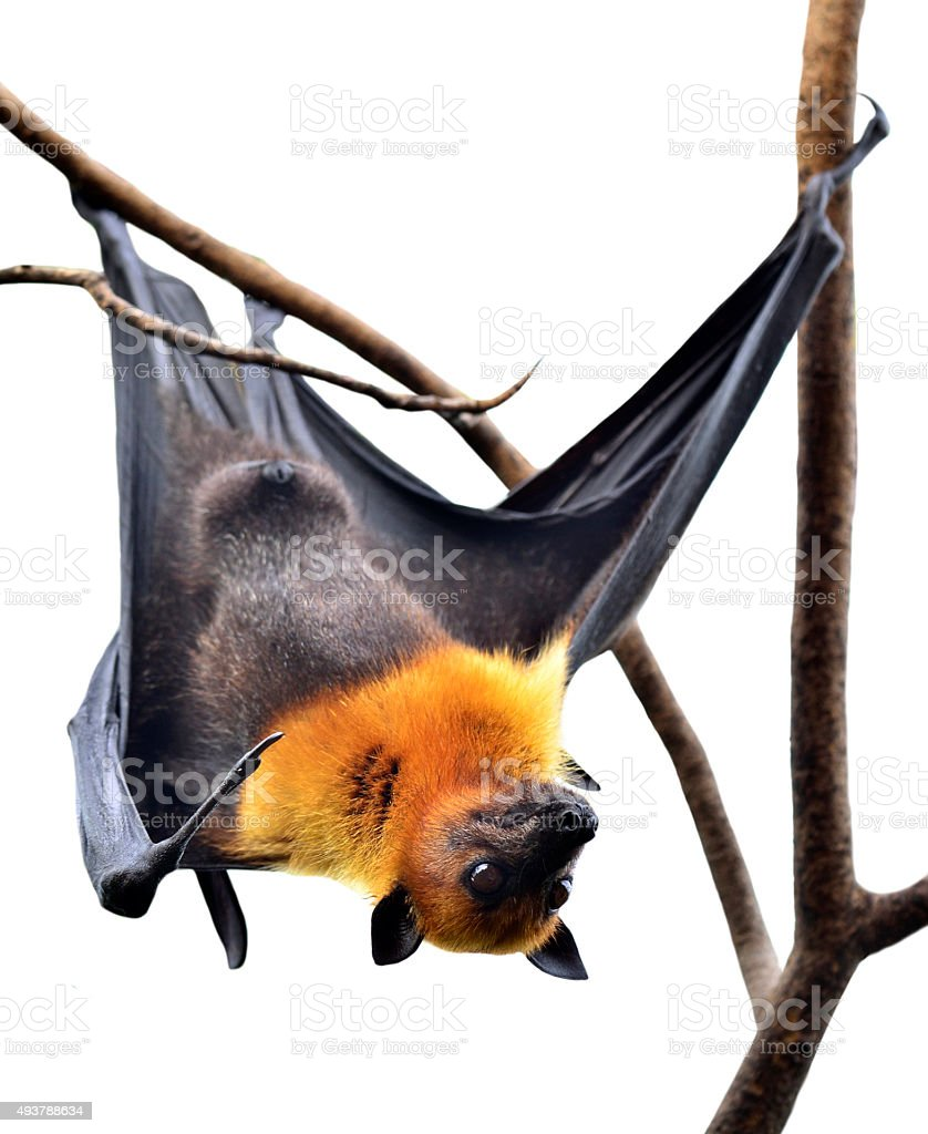 Scarely Hanging Flying Fox or Big bat isolated on white stock photo