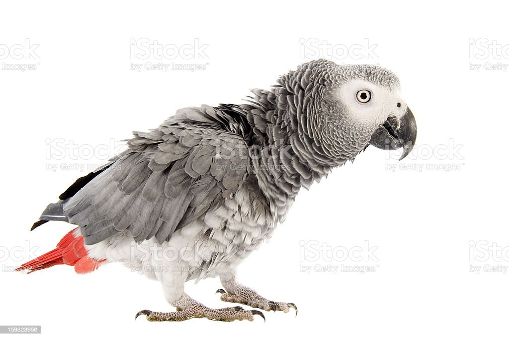 scaring African Grey Parrot stock photo
