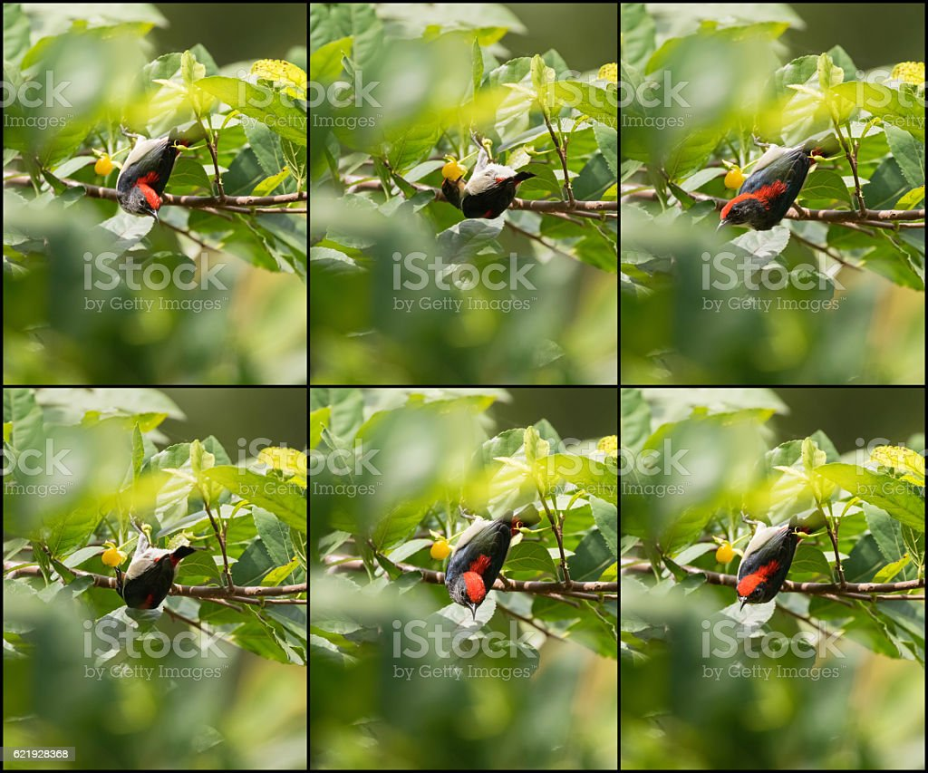 Scarlet backed Flowerpecker bird on tree eating yellow berry stock photo