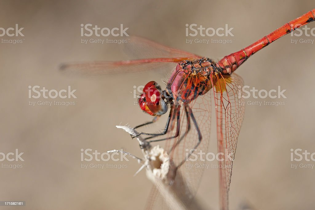 Scarlet Dragonfly Closeup royalty-free stock photo