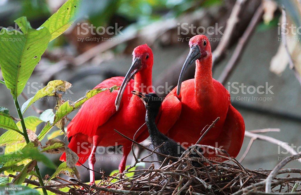 Scarlet Ibis Family stock photo