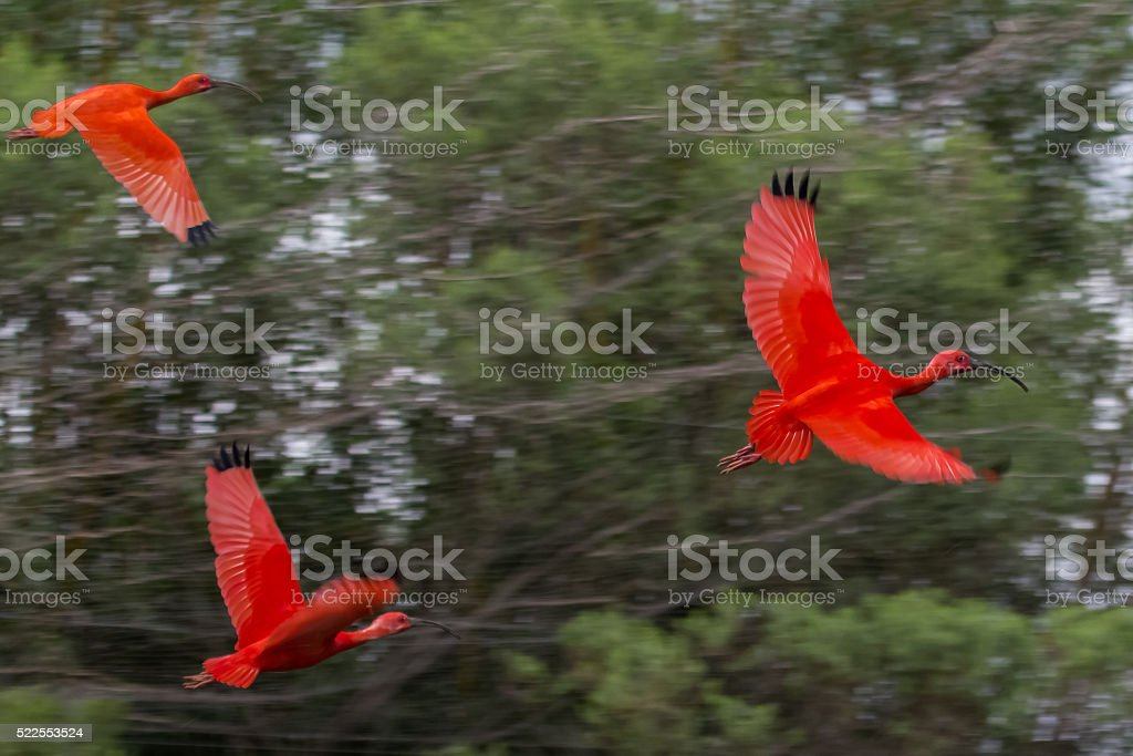 Scarlet Ibis Flying Over the Forest stock photo