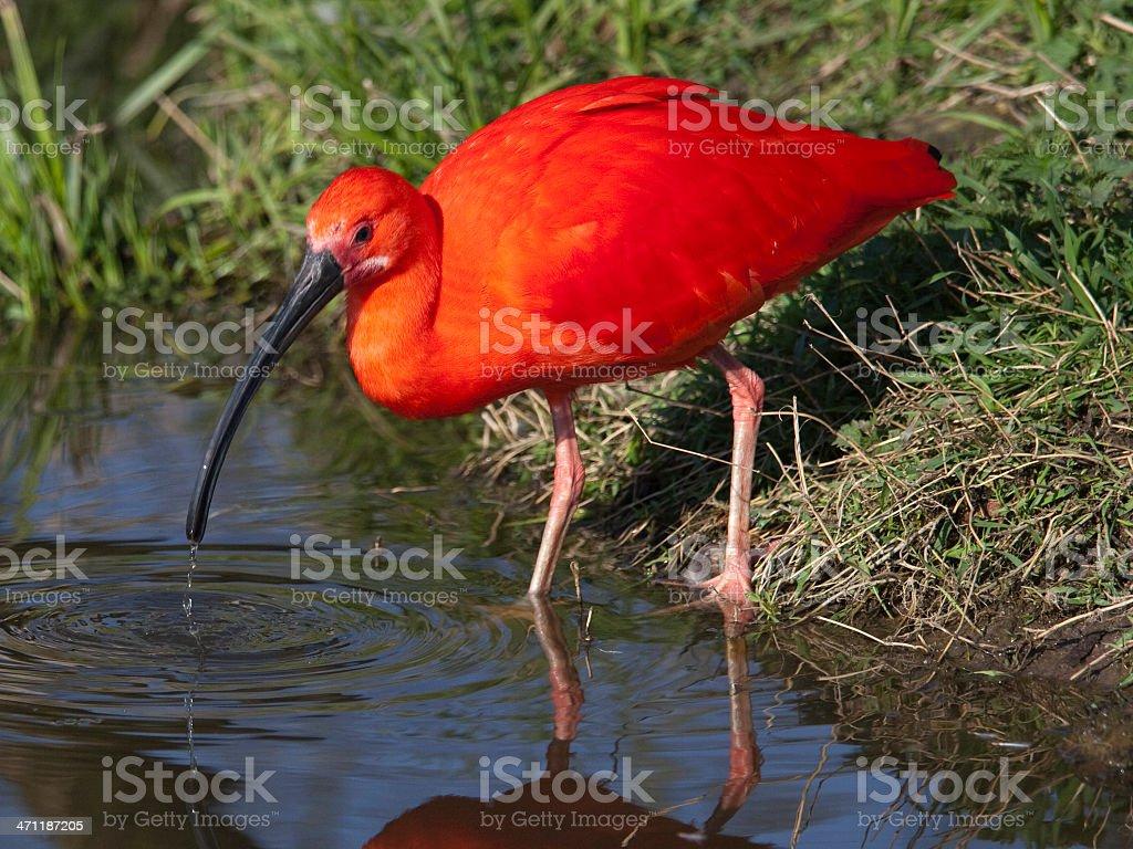 Scarlet Ibis royalty-free stock photo