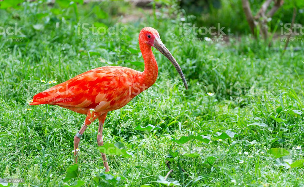 Scarlet ibis (Eudocimus ruber), South American bird stock photo
