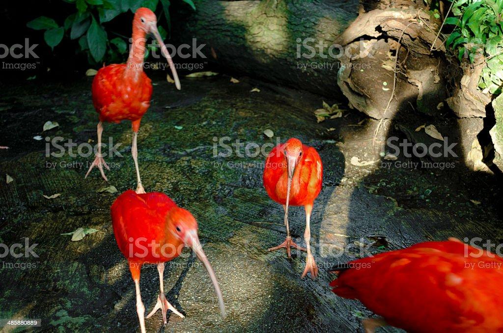 Scarlet Ibises stock photo