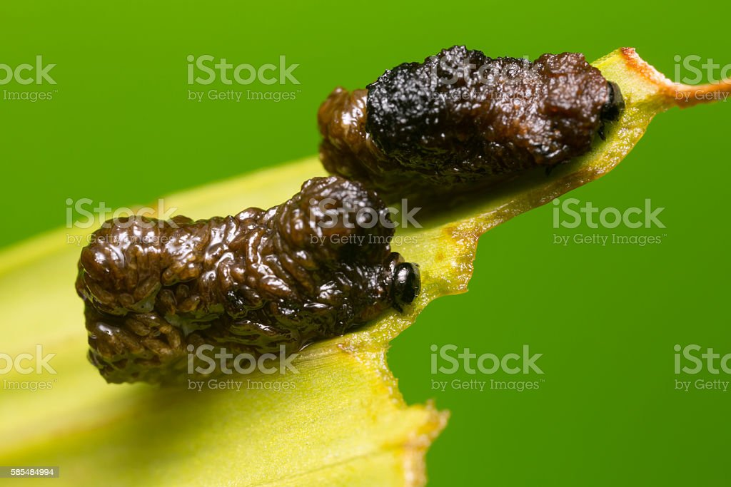 Scarlet lily beetle larva, lilioceris lilii feeding on lily leaf stock photo