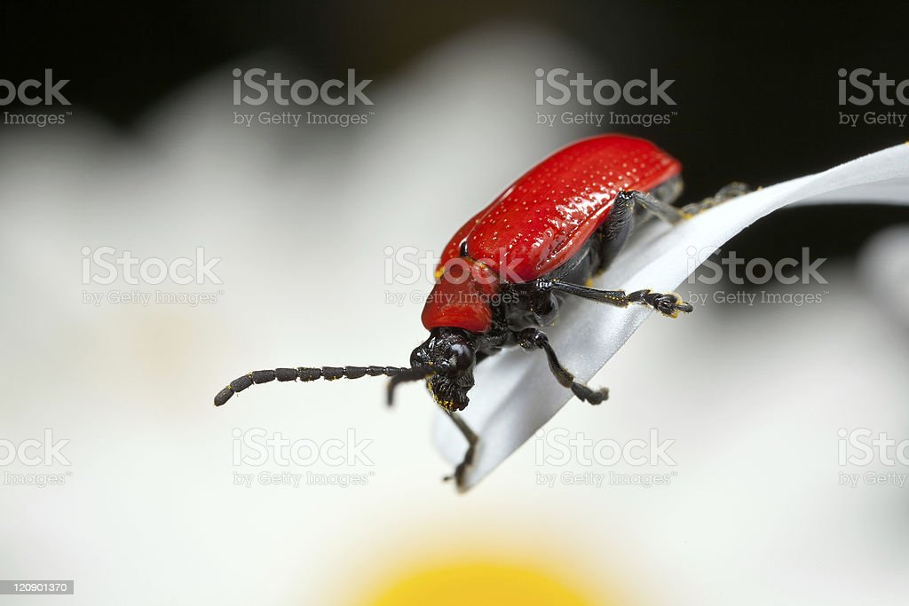 Scarlet Lily Beetle royalty-free stock photo