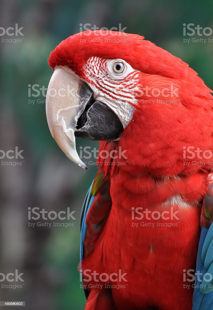 Scarlet macaw against tropical forest background stock photo