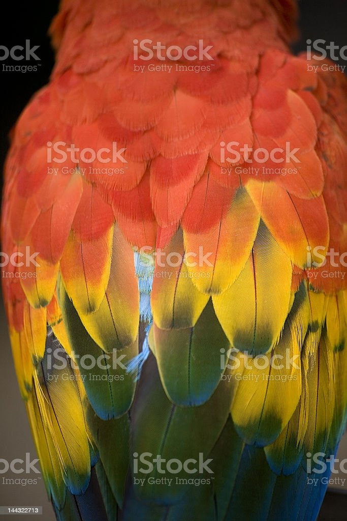 Scarlet Macaw feathers red rainbow royalty-free stock photo